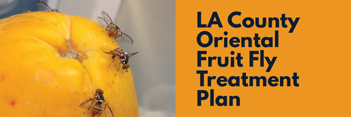Oriental Fruit Flies Found Locally – See LA County's